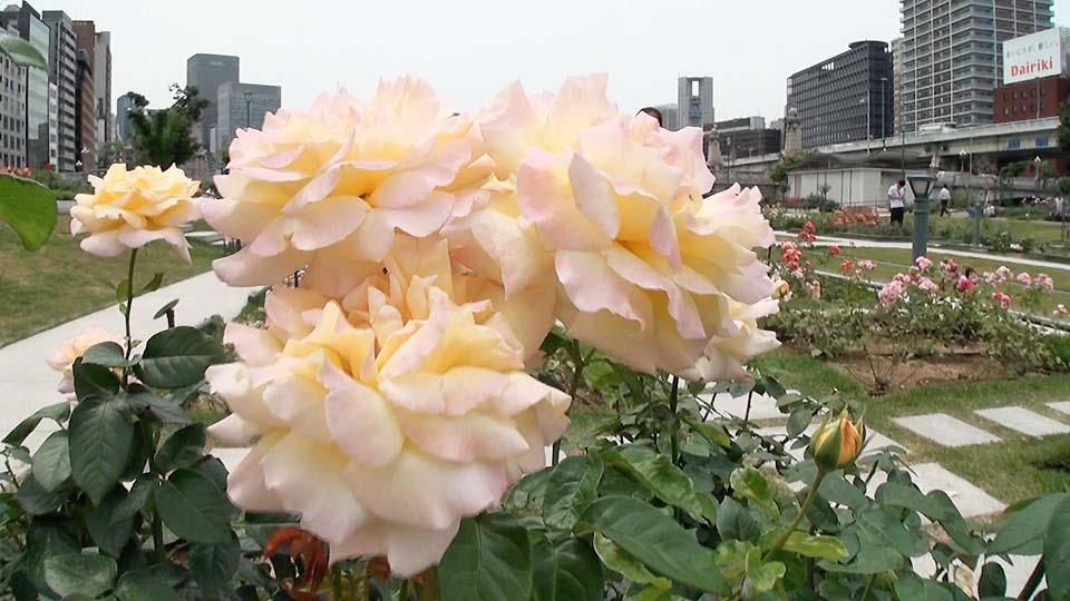 310種類のバラの美しさにうっとり!中之島バラ園で癒しの時間を